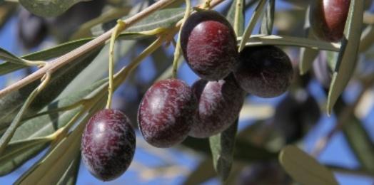 Geschmackserlebnis Olivenöl
